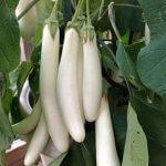 white-long-Brinjal
